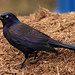 Common Grackle on Zoo Grounds
