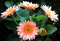 gaillardia(0.0), dahlia(0.0), marguerite daisy(0.0), macro photography(0.0), city car(0.0), annual plant(1.0), flower(1.0), plant(1.0), gerbera(1.0), daisy(1.0), flora(1.0), daisy(1.0), petal(1.0),