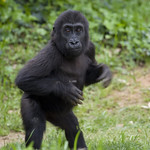 Smithsonian's National Zoo's Baby Gorilla: Spring 2011