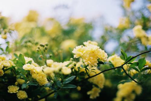 banksia rose by breeze.kaze