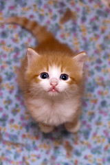 persian(0.0), exotic shorthair(1.0), animal(1.0), kitten(1.0), small to medium-sized cats(1.0), pet(1.0), cat(1.0), carnivoran(1.0), whiskers(1.0),