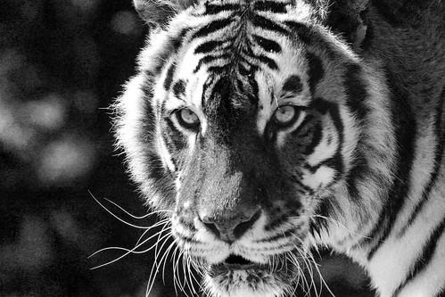 BW Tiger by Danny Nicholson