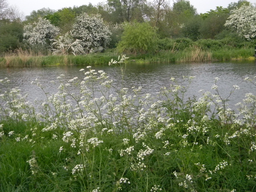 Cow Parsley along Ouse Huntingdon Circular