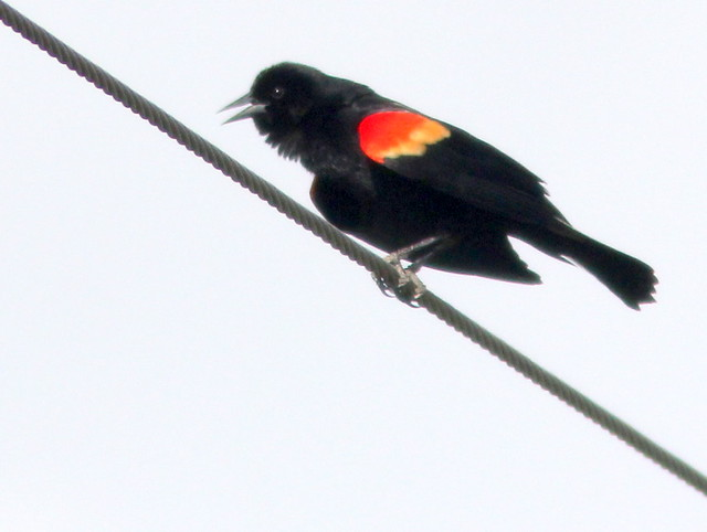 Red-winged Blackbird 20110427