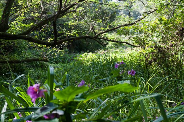 柿田川の花