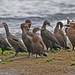 Cormorants and Shags - Photo (c) Jerry Oldenettel, some rights reserved (CC BY-NC-SA)