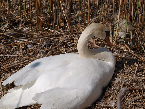 East Matunuck Mute Swan