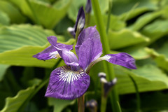 eye(0.0), iris(1.0), flower(1.0), iris versicolor(1.0), purple(1.0), plant(1.0), wildflower(1.0), flora(1.0),