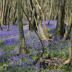 Bluebells, King's Wood, Kent