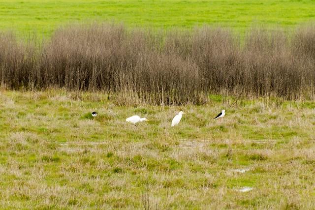 Black-winged Stilts & Cattle Egrets