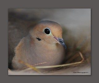 Mourning Dove on nest