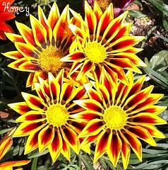 gaillardia, annual plant, flower, plant, flora,