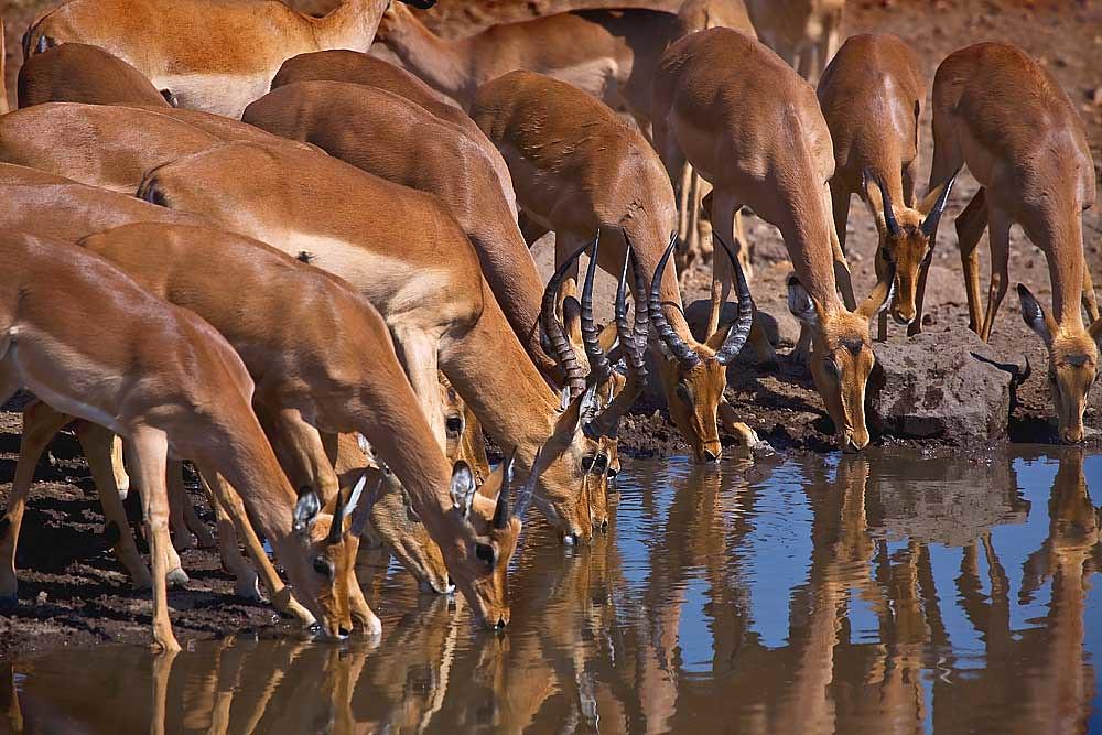 Impala drinking midday..Mashutu Game Reserve