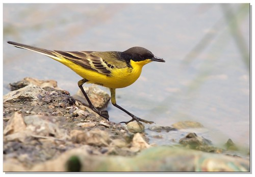 black headed yellow wagtail