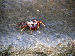 ocypodidae(0.0), food(0.0), crab(1.0), animal(1.0), crustacean(1.0), seafood(1.0), marine biology(1.0), invertebrate(1.0), fauna(1.0), wildlife(1.0),