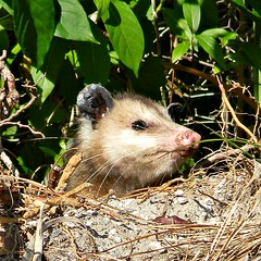 raccoon(0.0), erinaceidae(0.0), dormouse(0.0), chipmunk(0.0), animal(1.0), opossum(1.0), virginia opossum(1.0), possum(1.0), common opossum(1.0), branch(1.0), mouse(1.0), mammal(1.0), fauna(1.0), whiskers(1.0), viverridae(1.0), procyonidae(1.0), wildlife(1.0),