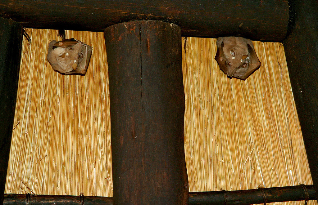 Ceiling Bats