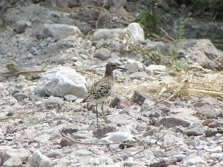 Sandpiper Marsh Sandpiper tringa stagnatilis Campos Beach Gavathas 22/05/03