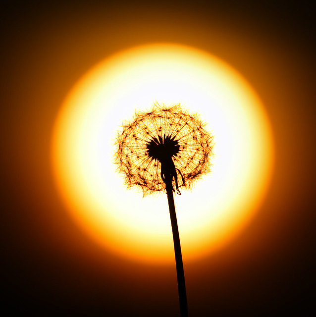 Sun and dandelion clock