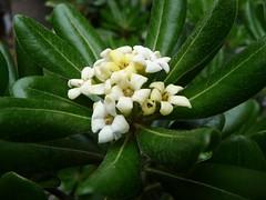 P1020459 La forza di un fiore, di una pianta! Pittosporum tobira