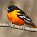 Baltimore Oriole by nature55