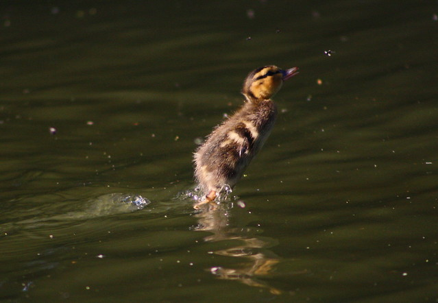 Leaping Duckling & the mayfly....