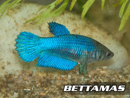 Betta malaysia bettamas may 2011 for Female betta fish names