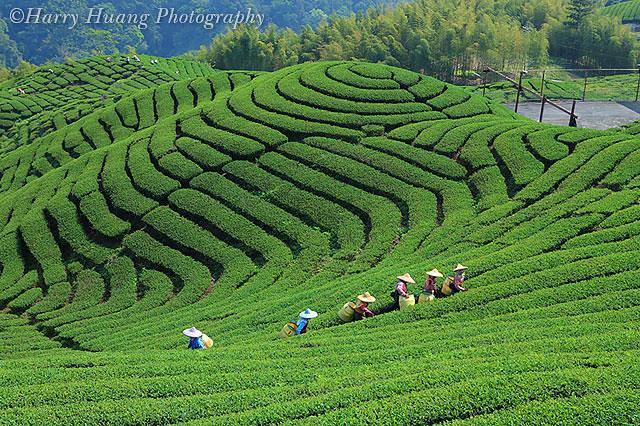 茶园-大鞍竹海风景区-高山茶 tea garden, tea plantation, nantou co