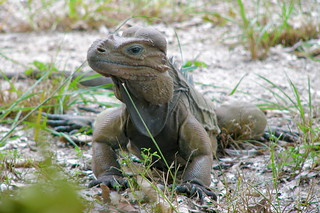 Mona Ground Iguana/ Iguana de Mona