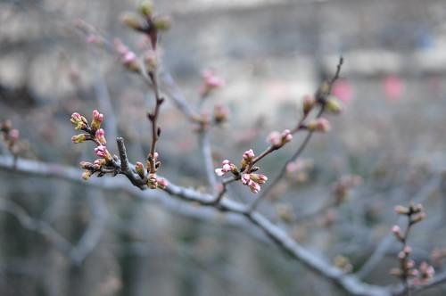 目黒川の桜がほころびかけ
