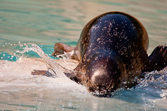 hippopotamus(0.0), animal(1.0), seals(1.0), sea lion(1.0), marine mammal(1.0), water(1.0), sea(1.0), fauna(1.0), wildlife(1.0),
