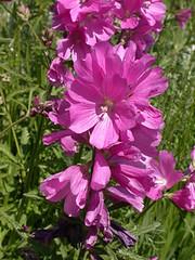 malva(0.0), annual plant(1.0), flower(1.0), plant(1.0), gladiolus(1.0),