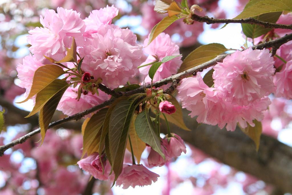 Third Grade Cherry Blossom Poetry Festival