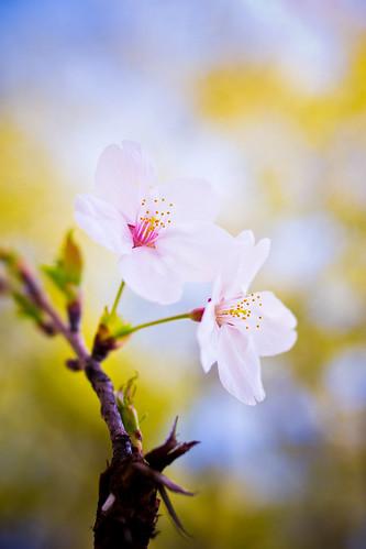 [フリー画像素材] 花・植物, 桜・サクラ ID:201204040600