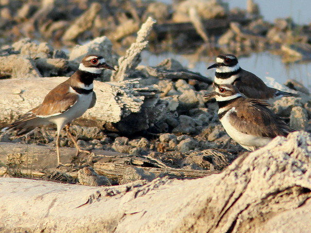 Kildeer interloper 20110412