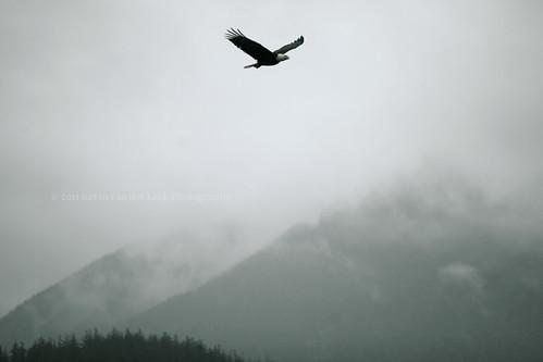 mountains eagle baldeagle springbreak westcoast ucluelet kvdl canonef70200mmf28lisiiusm