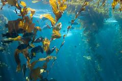 coral reef, algae, seaweed, fish, coral reef fish, sunlight, sea, marine biology, underwater, kelp,