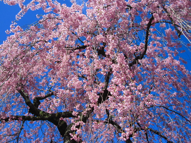 Pink Prunus subhirtella 'Pendula' blossoms mix with an incredibly blue sky at BBG today. Photo by Rebecca Bullene.