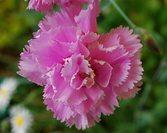 blossom(0.0), peony(0.0), carnation(1.0), annual plant(1.0), flower(1.0), plant(1.0), macro photography(1.0), flora(1.0), dianthus(1.0), pink(1.0), petal(1.0),