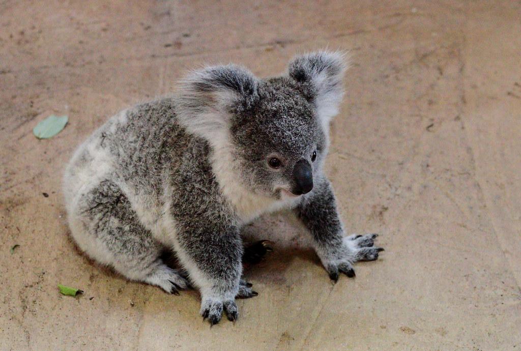 Koala baby Owen