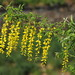 Common Laburnum - Photo (c) HermannFalkner/sokol, some rights reserved (CC BY-NC-SA)