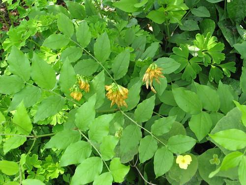 Lathyrus aureus