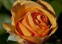 Late Rose