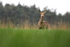 giraffe(0.0), giraffidae(0.0), animal(1.0), prairie(1.0), deer(1.0), fauna(1.0), white-tailed deer(1.0), grassland(1.0), wildlife(1.0),