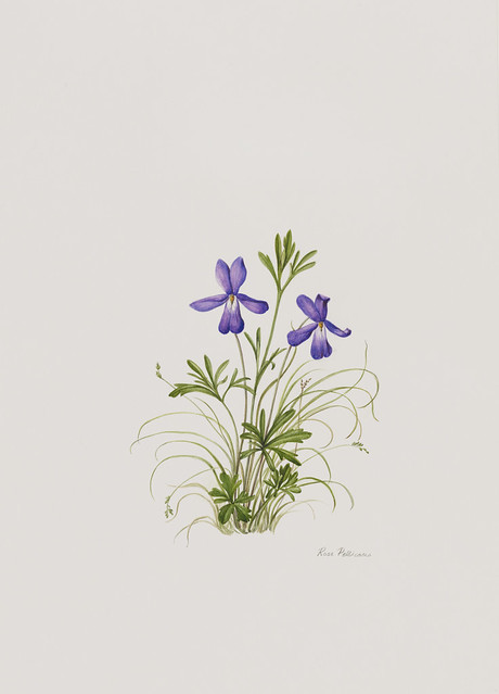 "Rose Pellicano, Viola pedata, 2010. Native Flora Garden. Watercolor on Schoellenshammer hot press. 12"" x 9""."