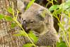 Koala 5