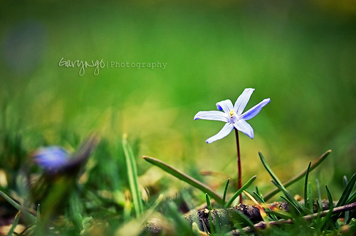 Little Blue Flower [Explore #24] by Gary Ngo | Photography