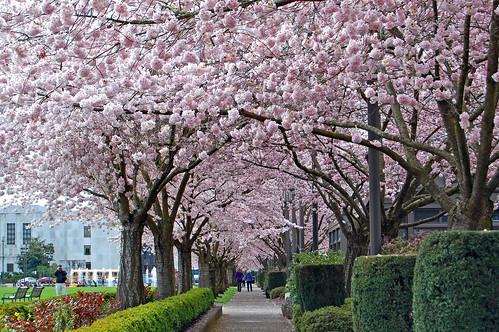 flower tree oregon cherry 桜 sakura salem viewing hanami 花見 edmundgarman