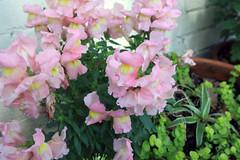 blossom(0.0), annual plant(1.0), shrub(1.0), flower(1.0), plant(1.0), flora(1.0), snapdragon(1.0), pink(1.0), petal(1.0),