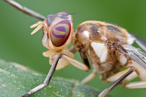 A newly emerged fly, <i>Xenaspis</i> Osten Sacken of the <i>Platystomatidae</i>? IMG_9812 copy